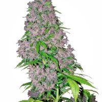 Purple Haze Seeds,,marijuana ,dank ,lifeinism,bud ,ganja ,hrbnlife ,Stonerdays ,HighLife ,GreenLife ,Instaweed ,Lifted ,maryjane ,HighTimes ,herblife ,Cmoneys420hunnie ,tagsforhearts ,Bluntculture ,LoudOnly ,PiercedPotHead ,pothead ,KushArmy ,ilsc420 ,medical ,420 ,greenlife ,instaweed ,w420 ,weedporn ,710 ,dabaholic wakenbake, smokepot ,smokeweed ,stoner ,StonerFam ,stonercouples ,stayhigh ,weed ,weedsociety ,cannabis ,CannaFam ,gethigh ,ganja ,ganjalife ,hsc ,high ,joints ,blunts ,marijuana ,pothead ,recreational ,anxiety