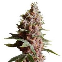 Strawberry Kush Seeds,, ,marijuana ,dank ,lifeinism,bud ,ganja ,hrbnlife ,Stonerdays ,HighLife ,GreenLife ,Instaweed ,Lifted ,maryjane ,HighTimes ,herblife ,Cmoneys420hunnie ,tagsforhearts ,Bluntculture ,LoudOnly ,PiercedPotHead ,pothead ,KushArmy ,ilsc420 ,medical ,420 ,greenlife ,instaweed ,w420 ,weedporn ,710 ,dabaholic wakenbake, smokepot ,smokeweed ,stoner ,StonerFam ,stonercouples ,stayhigh ,weed ,weedsociety ,cannabis ,CannaFam ,gethigh ,ganja ,ganjalife ,hsc ,high ,joints ,blunts ,marijuana ,pothead ,recreational ,anxiety
