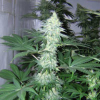 White Widow Seeds ,marijuana ,dank ,lifeinism,bud ,ganja ,hrbnlife ,Stonerdays ,HighLife ,GreenLife ,Instaweed ,Lifted ,maryjane ,HighTimes ,herblife ,Cmoneys420hunnie ,tagsforhearts ,Bluntculture ,LoudOnly ,PiercedPotHead ,pothead ,KushArmy ,ilsc420 ,medical ,420 ,greenlife ,instaweed ,w420 ,weedporn ,710 ,dabaholic wakenbake, smokepot ,smokeweed ,stoner ,StonerFam ,stonercouples ,stayhigh ,weed ,weedsociety ,cannabis ,CannaFam ,gethigh ,ganja ,ganjalife ,hsc ,high ,joints ,blunts ,marijuana ,pothead ,recreational ,anxiety