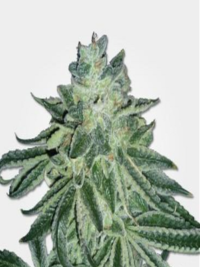 Buy Weed Online - Buy Medical Marijuana - Weed for sale-Blue Dream Seeds ,
